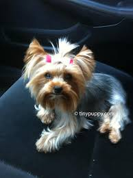 haircuts for yorkies yorkie haircuts and hairstyles tinypuppy
