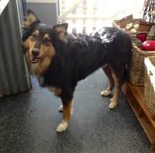 australian shepherd quirks tricolor border collie mixes beano the border collie mix