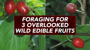 edible fruits foraging for 3 overlooked edible fruits