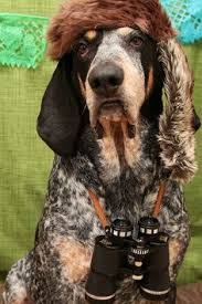 bluetick coonhound fun facts westminster u0027s best of breed westminster dog show bobs and puppys