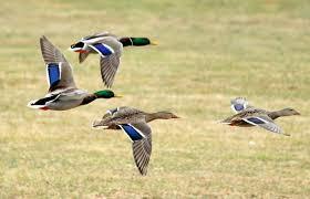 mallard audubon field guide