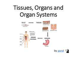 cells tissues and organs by rc mitchell teaching resources tes