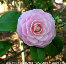 camellia flowers hgic 1062 camellia extension clemson south carolina
