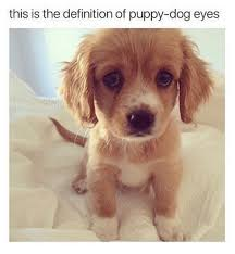 Puppy Eyes Meme - this is the definition of puppy dog eyes shine definitely meme on