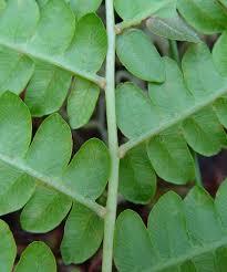 osmundastrum cinnamomeum cinnamon fern go botany