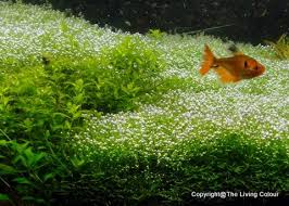 Aquascape Chicago 85 Best Aquascaping Images On Pinterest Aquarium Ideas Planted
