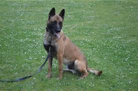belgian sheepdog breeders pa lrex of niniek wish