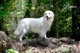 golden retriever puppies english cream white akc certified