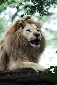 lions for sale lions for sale