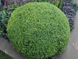 buxus sempervirens in vaso bosso mortella buxus sempervirens giardinaggio mobi