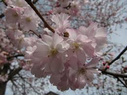 Tierklinik Bad Langensalza ドイツの桜祭り ドイツ友
