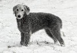feeding a bedlington terrier bedlington terrier breed information characteristics u0026 heath