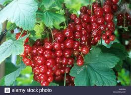 currant raby castle berries berry on a tree stock photo