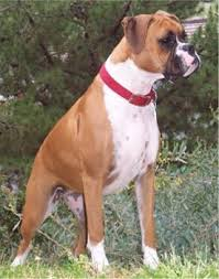 boxer dog health questions choosing the right boxer the boxer weekly