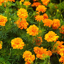 Flowers That Keep Mosquitoes Away Pest Repelling Plants For The Yard And Garden