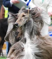 zoso afghan hound real show dogs favorite examples in your breed showdog com forum
