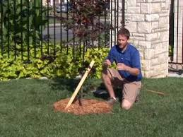tree stakes how to stake a tree
