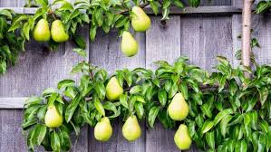 a step by step guide to espaliering fruit trees stuff co nz