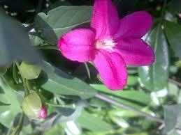 75 best white rose garden images on pinterest flowers plants