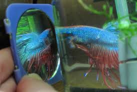 how to choose a healthy betta fish from the store
