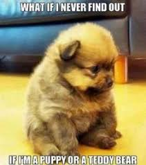 Meme Teddy Bear - puppy or teddy bear what breed is it