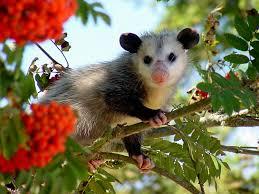 Possum In My Backyard Opossums Living With Wildlife Washington Department Of Fish