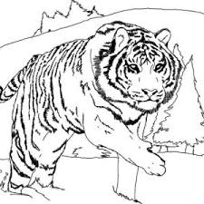snow tiger coloring page download online coloring pages for free part 132