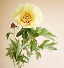 Peony Flowers Growing Peonies How To Plant U0026 Care For Peony Flowers Garden Design