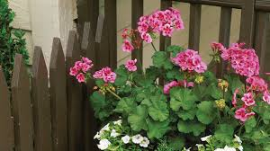 Plants That Don T Need Much Sun Plant Geraniums In Containers Southern Living