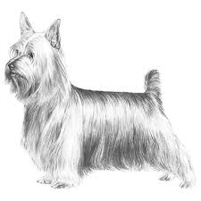 australian shepherd illustration silky terrier dog breed information silky terrier terrier