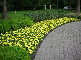 yellow marigold garden border marigolds pinterest garden