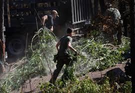Santa Cruz County Christmas Tree Farms by Santa Clara County Deputies Raid Pot Grow In Loma Fire Zone