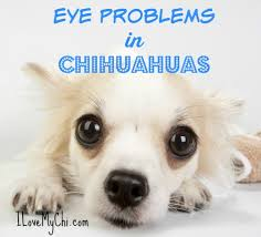 Blind Dog Eye Discharge Eye Problems In Chihuahuas I Love My Chi
