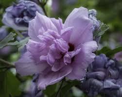 Purple Carnations Purple Carnation Flower By Alpoarts On Deviantart