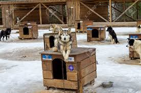 dog lying on the roof of his kennel sled dogs farm in karelia