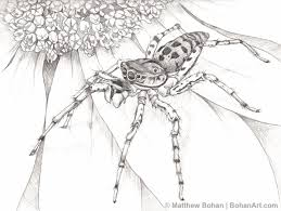 dimorphic jumping spider pencil sketch p42 bohan art