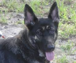 akc german shepherd puppies 950 pets and animals in