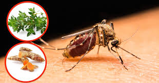 natural mosquito repellents 6 natural mosquito repellents that work
