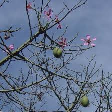 Trees With Pink Flowers Kapok Fruit Tree With Beautiful Pink Flowers Jpg Hi Res 720p Hd