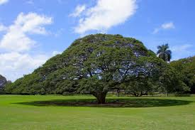 808 state oahu s hitachi tree certainly is worth a look the