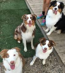 lazy d ranch australian shepherds diamond k mini aussies cute pinterest aussies puppies