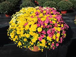 fall mums u0026 asters chateau farms