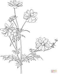 cosmos bipinnatus or garden cosmos or mexican aster coloring page