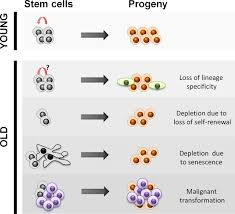 manifestations and mechanisms of stem cell aging jcb