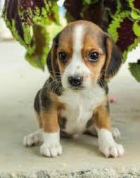 beagle x australian shepherd puppies for sale bff puppies