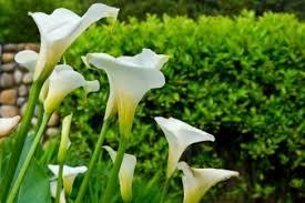 Calla Lillies Growing Calla Lilies Thriftyfun