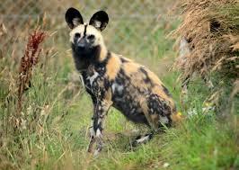 safari ltd african wild dog wild dogs move into new homes at exmoor zoo barnstaple bideford