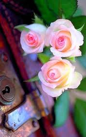 Very Pretty Flowers - 99 best roses images on pinterest beautiful roses nature and