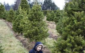 local farms offer u cut we cut christmas trees the bellingham