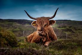 free stock photos of highland cattle pexels
